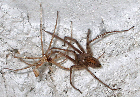 Tegenaria Sp. - Ragno domestico europeo